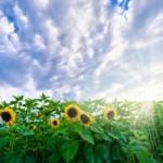 Random image: sunflower